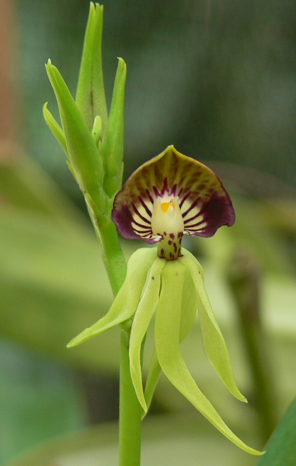 The Black Orchid At Caves Branch Belize S National Flower